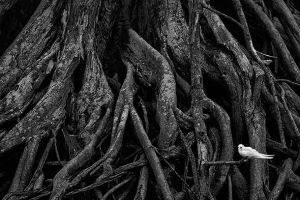 ironwood roots