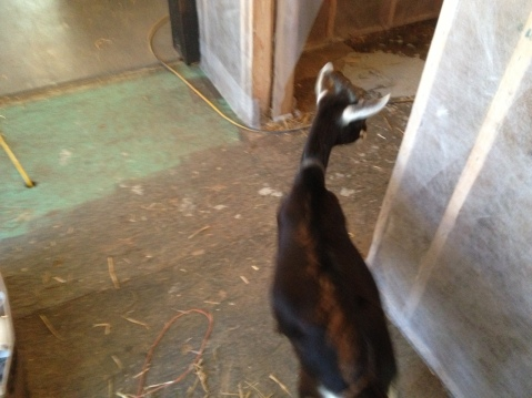 goat flees photographer into seed building room ready for blow cellulose insulation