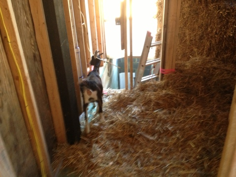 Goat inspects straw bale wall in new seed office