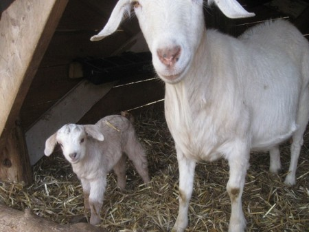 The larger goat is Radiator Charlie, named after a prolific tomato.
