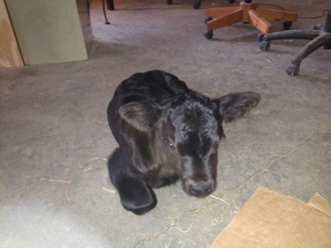 "the Calf's full name is Pandora Midfield ""Fieldmouse"" Skeeter-Acorn"