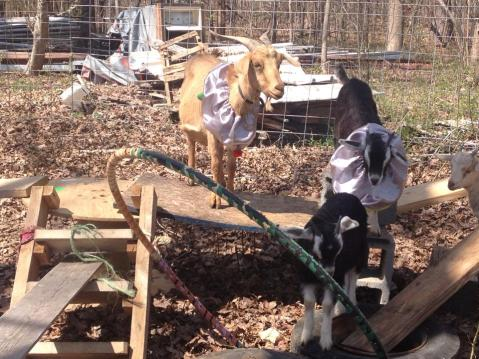 Even the goats dress up for the party
