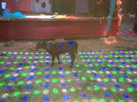 Calf checking out party lights